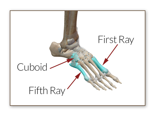 Illustration of Cuboid, First Ray, and Fifth Ray of the foot